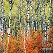 Aspen And Maple Trees In Autumn Poster