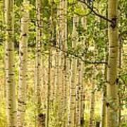 Aspen Forest Poster