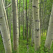 Aspen Forest In Spring Poster