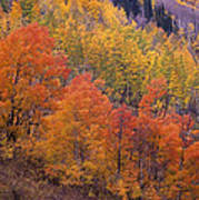 Aspen Grove In Fall Colors Poster