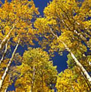 Aspen Grove In Fall Poster