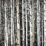 Aspen Tree Trunks Poster