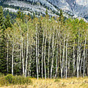 Aspen Trees Along The Bow Valley Poster