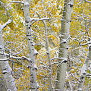 Aspen Trees Covered With Snow Poster