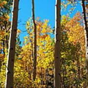 Aspen Trees In Fall Poster