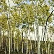 Aspen Trees In Spring  Poster