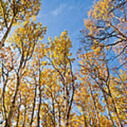 Aspen Trees In The Fall Poster