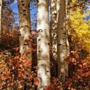 Aspen Trunks And Red Poster