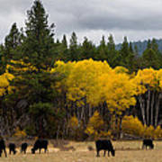 Aspens And Cows Poster