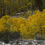Aspens In Snow Poster