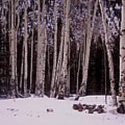 Aspens In Snow Poster