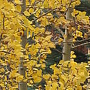 Aspens In The Fall 1 Poster