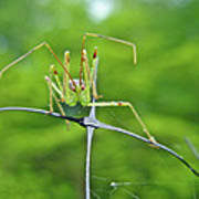Assassin Bug Nymph - Reduviidae Poster