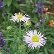 Asters In Close-up Poster
