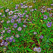 Asters On Heron Lake Trail In Grand Teton National Park-wyoming- Poster