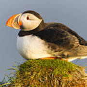 Atlantic Puffin Iceland Poster