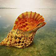 Atlantic Trumpet Triton Shell Poster