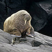 Atlantic Walrus Bull On Rocky Shore Poster