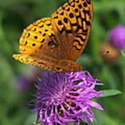 Atlantis Fritillary Butterfly Poster