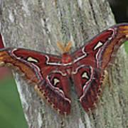 Atlas Moth Portrait Asia Poster