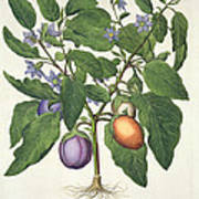 Aubergine Melanzana Fructu Pallido Poster