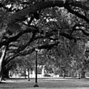 Audubon Park Oaks Poster