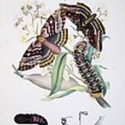 Australian Butterflies Poster by Philip Ralley