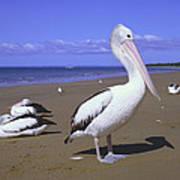 Australian Pelican On Beach Poster