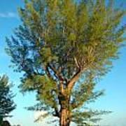 Australian Pine At Sundown Poster