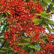 Australian Poinciana Tree Poster
