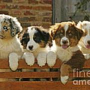 Australian Sheepdog Puppies Poster
