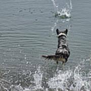 Australian Shepherd Fun At The Lake Chasing The Ball Poster