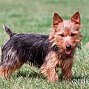 Australian Terrier Dog Poster