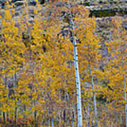 Autumn Aspens Poster by James BO  Insogna