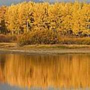 Autumn Aspens Reflected In Snake River Poster