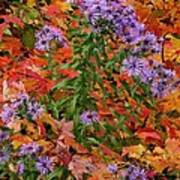 Autumn Asters Poster
