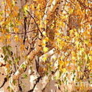 Autumn Birch Leaves Poster