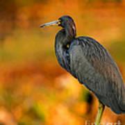Autumn Blue Heron Poster