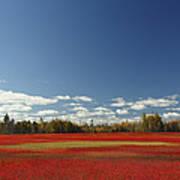 Autumn Blueberry Field Maine Poster