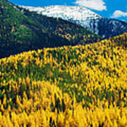 Autumn Color Larch Trees In Pine Tree Poster