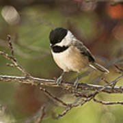 Autumn Colors Chickadee Poster