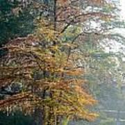 Autumn Cypress Poster