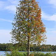 Autumn Cypress Tree Poster