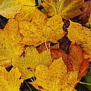Autumn Fallen Maple Poster