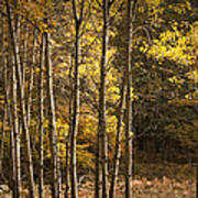 Autumn Forest Scene With Birches In West Michigan Poster