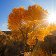 Autumn Golden Birch Tree In The Sun Fine Art Photograph Print Poster