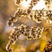 Autumn Goldenrod  Poster