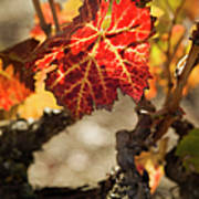 Autumn Grape Leaves Poster by Charmian Vistaunet