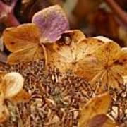 Autumn Hydrangeas V Poster