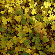 Autumn Leaves 091 Poster